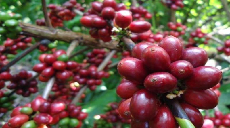 cafe rondonia renata silva embrapa