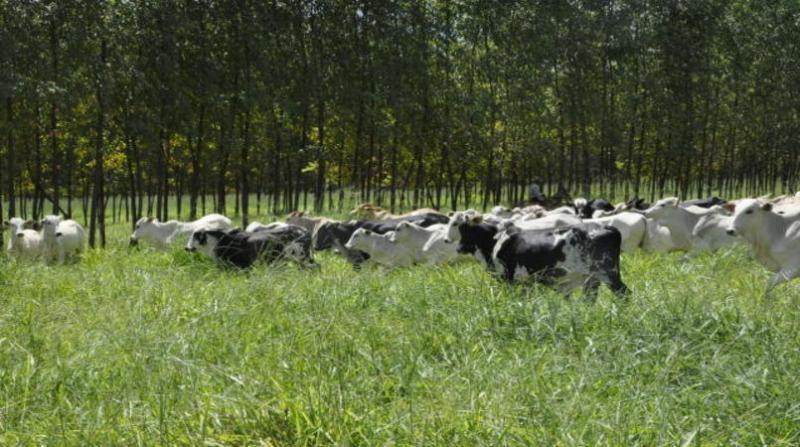 bovinos 14 2 19 breno lobato embrapa