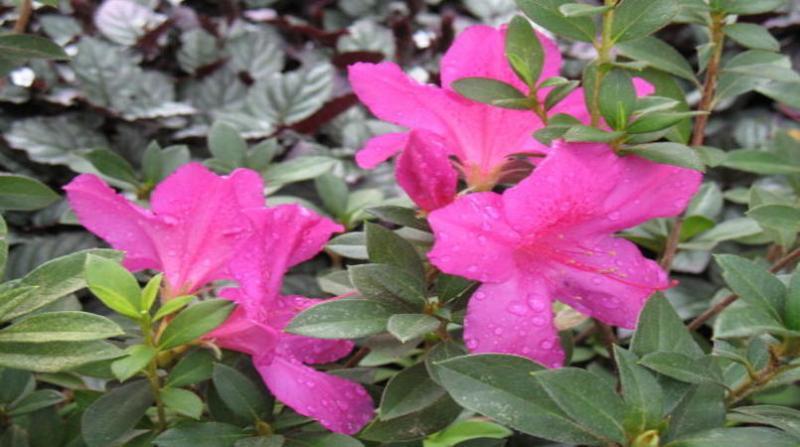 flor azaleia cristiane solano embrapa