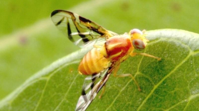 mosca-da-fruta esalq usp