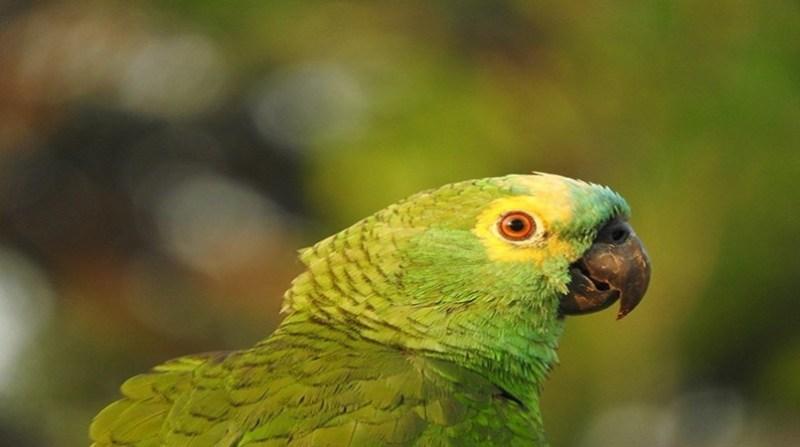 Papagaios 3 _GlauciaSeixas2 embrapa