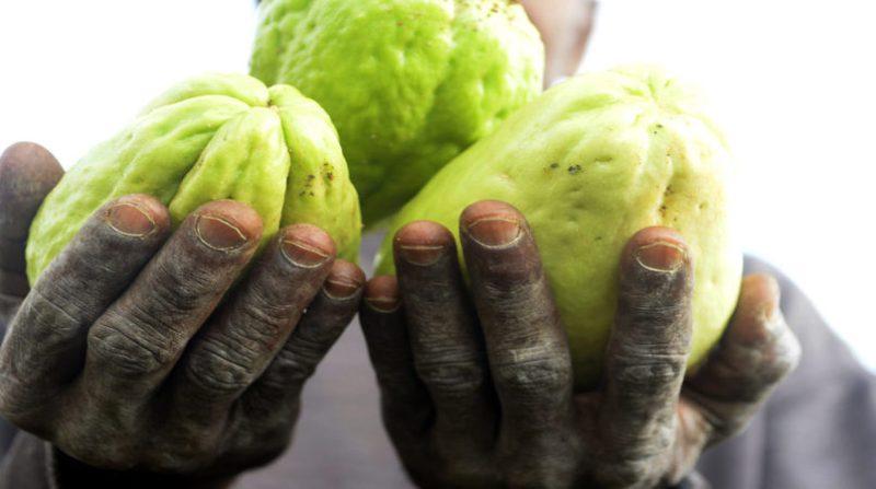 produtor maos segurando chuchu joel rodrigues agencia brasilia