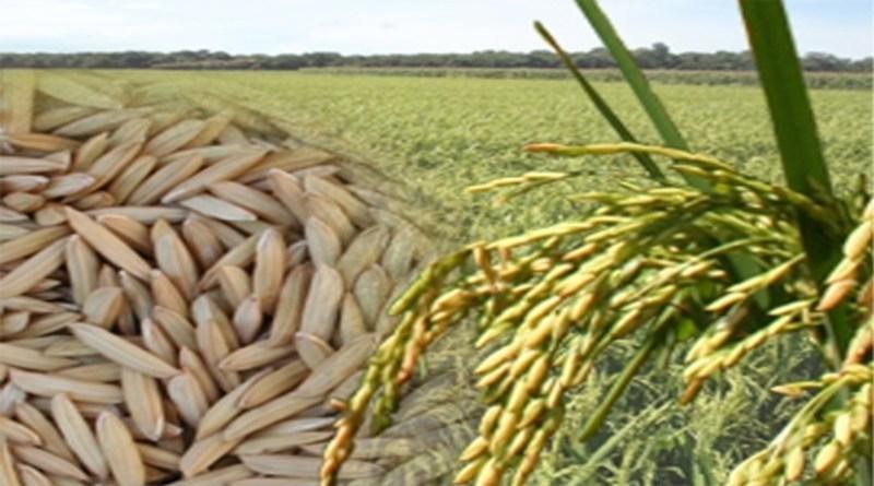 Maranhão lança programa de apoio à produção e industrialização de arroz
