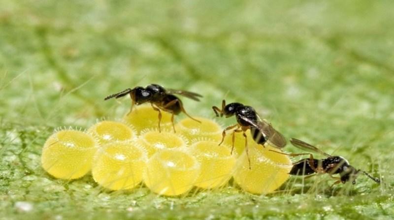 controle biologico abelha rr rufino embrapa
