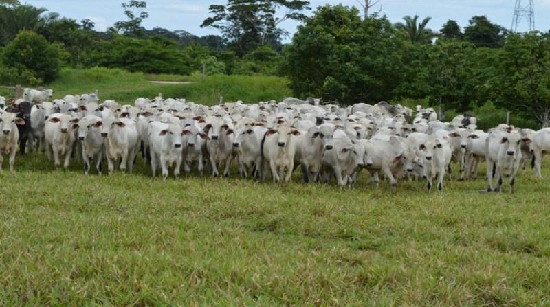 bovinos rondonia governo