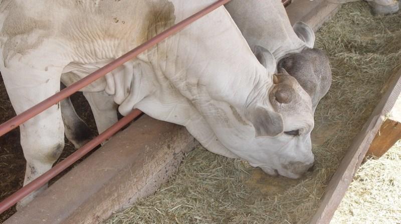 bovinos se alimentando arquivo embrapa