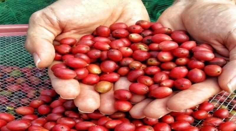 cafe maos produtor embrapa