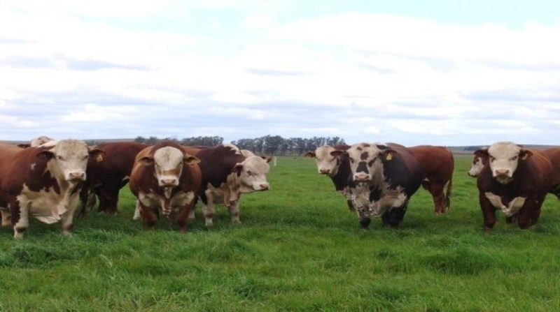 bovinos hereford e braforf keke barcellos embrapa