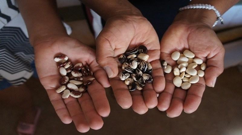 sementes maos adilson nobrega embrapa
