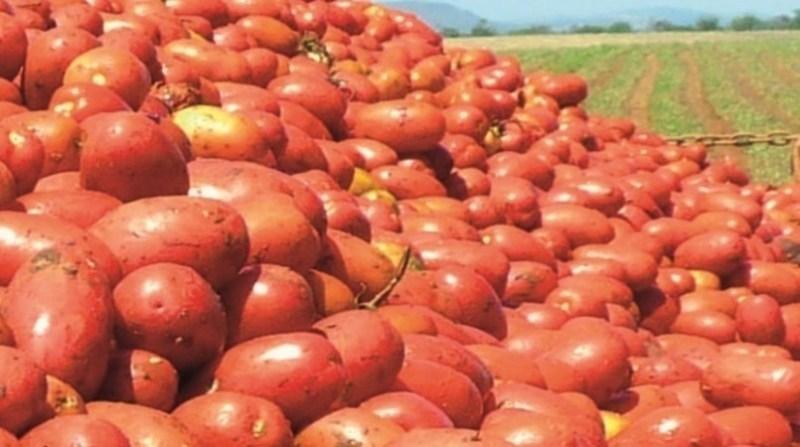 tomate alice duval embrapa