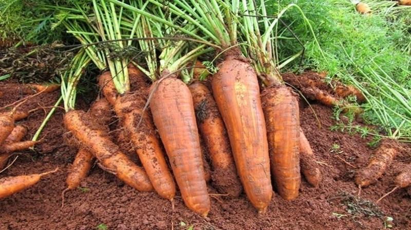 cenoura organica agnaldo carvalho embrapa