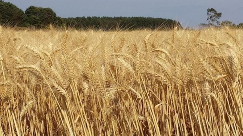 trigo plantacao cerrado embrapa