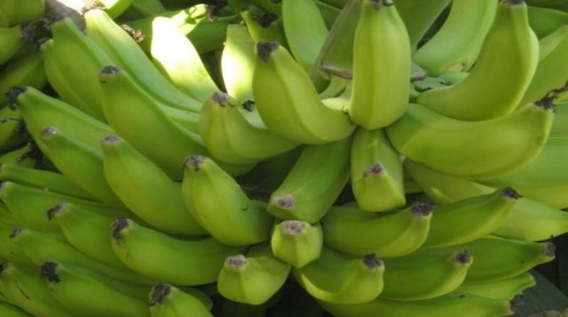 banana MC lea cunha embrapa