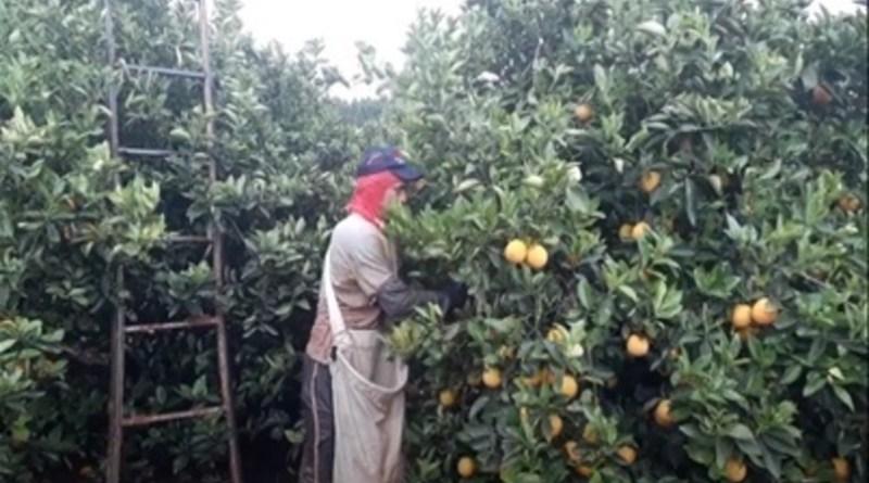 Zoneamento agrícola de risco climático traz novidade para a cultura de citros