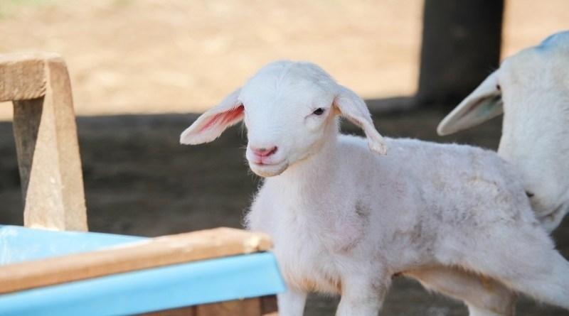 Embrapa: Produtores devem redobrar atenção com cordeiros durante o frio