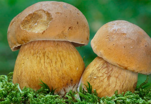 Как выглядит ложный белый гриб: описание, как отличить от ...