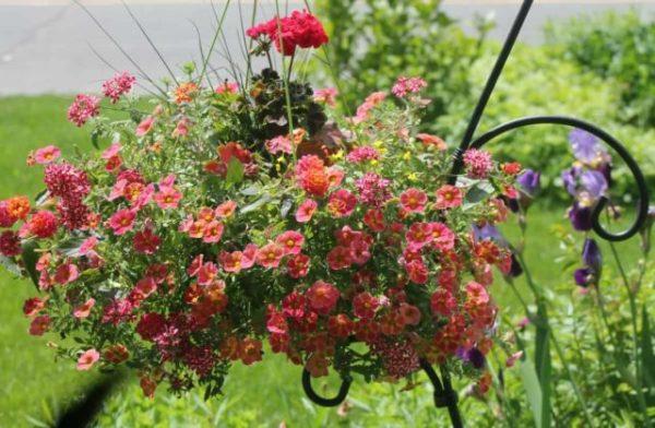 Калибрахоа: уход и выращивание, фото, посадка, как ...