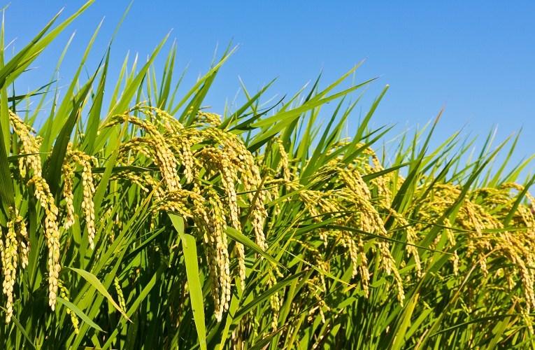Como tornar o cultivo em terras baixas mais eficiente e lucrativo