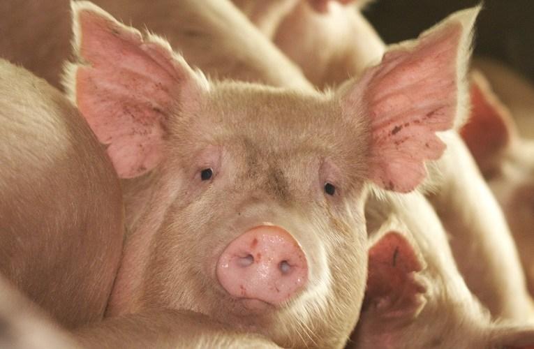 Caso de peste suína no Haiti põe indústria brasileira em alerta