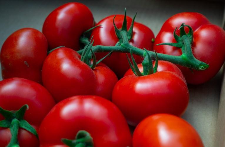 Saiba como aumentar a resistência natural do tomateiro e ter ganhos em produtividade
