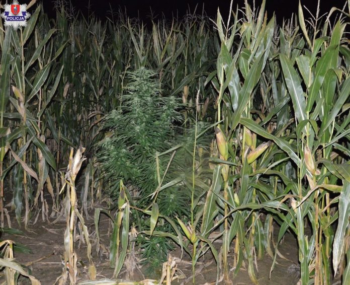 Nielegalne konopie w kukurydzy