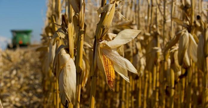 kalkulacje opłacalności, kukurydza, kukurydza na ziarno