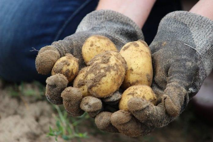 wyniki plonowania ziemniaka  jadalnego, rolnik, rolnictwo, COBORU, ziemniaki