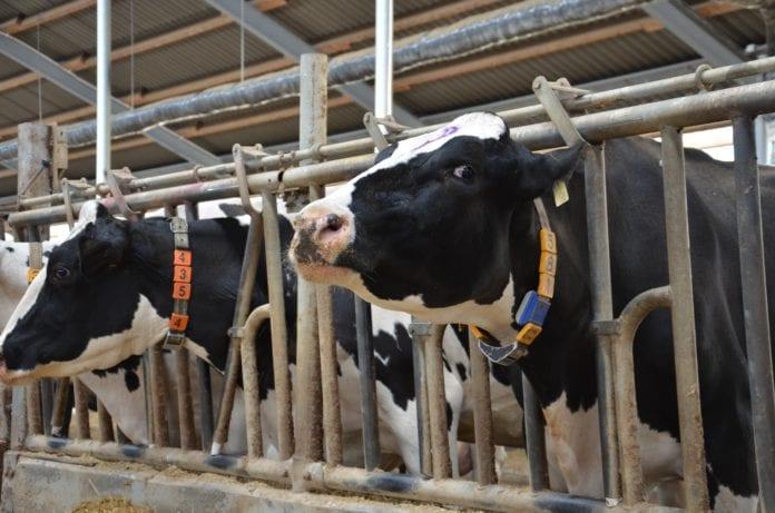 krowa bydło mleczne