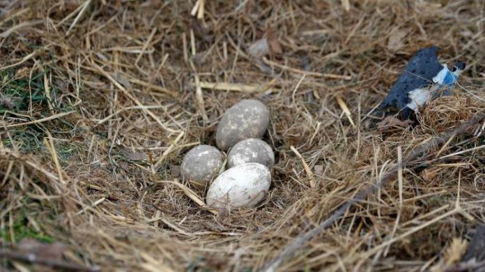 Jaja dzikich ptaków to prawdziwe pisanki natury