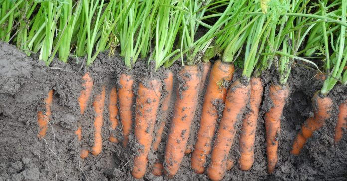 chwast, warzywa, glifosat