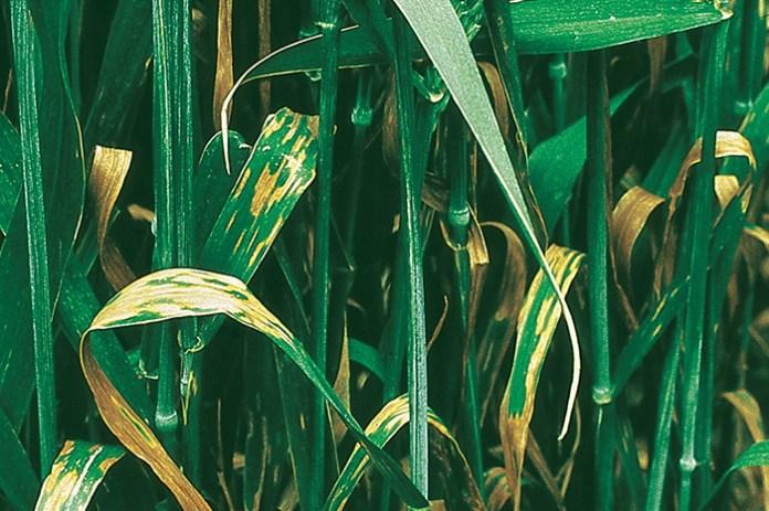 Z roku na rok rośnie presja ze strony chorób grzybowych zbóż