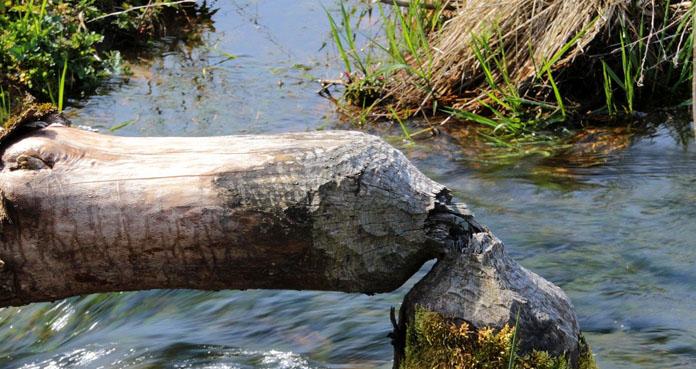 Kiedy należy się odszkodowanie za drzewa uszkodzone przez bobry?