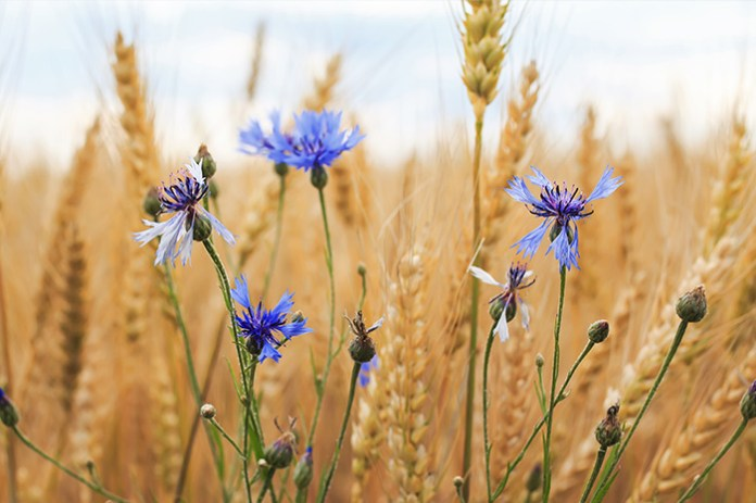 Wiosenne zwalczanie chwastów w zbożach