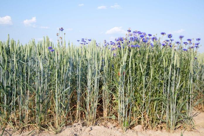 Ochrona herbicydowa pszenicy ozimej, INNVOGO, Andrzej Brachaczek, Flufenacet, diflufenikan, metsulfuron metylu