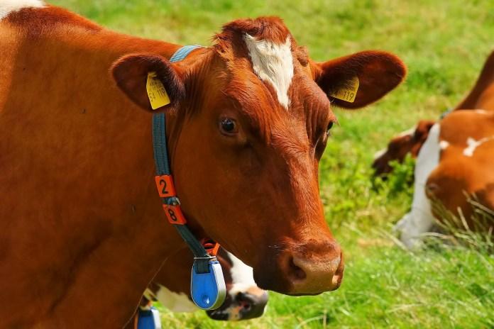 krowy polskie czerwone