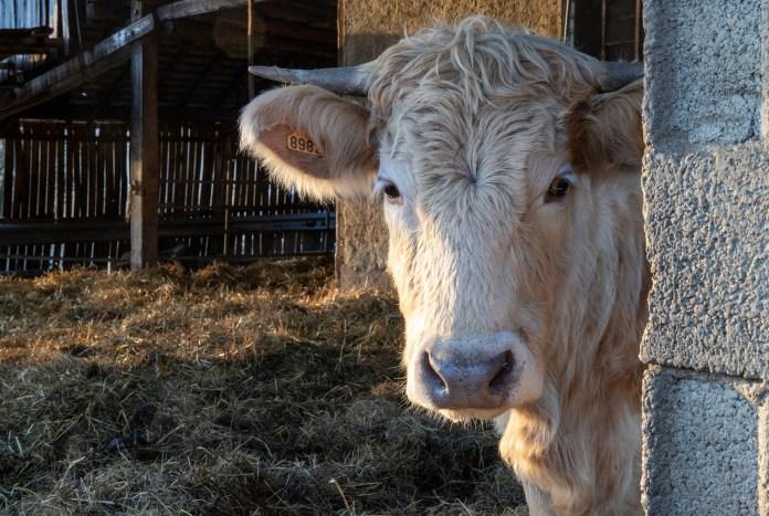 Ile energii ma w sobie krowa?