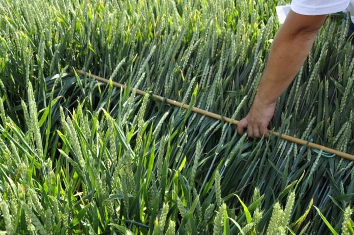 odmiany pszenicy, odmiany pszenicy ozimej, COBORU, RGT Kilimanjaro, Linus, Arftist, Hondia