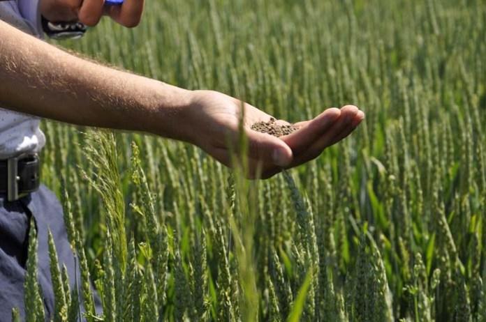 rolnik, rolnictwo, ceny zbóż, pszenica, ceny pszenicy, zbiory pszenicy, eksport pszenicy, BGŻ BNP Paribas,