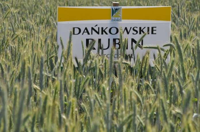 odmiany żyta, odmiany żyta ozimego, COBORU, KWS Binntto, KWS Dolar