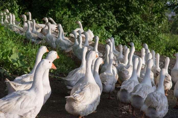 Dwa nowe przypadki wirusa ptasiej grypy w Polsce