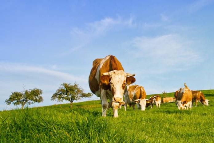 Stado krów z Deszczna, krowy, Główny Lekarz Weterynarii