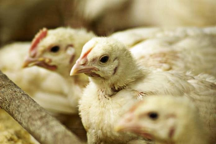 Kolejne pięć nowych ognisk grypy ptaków
