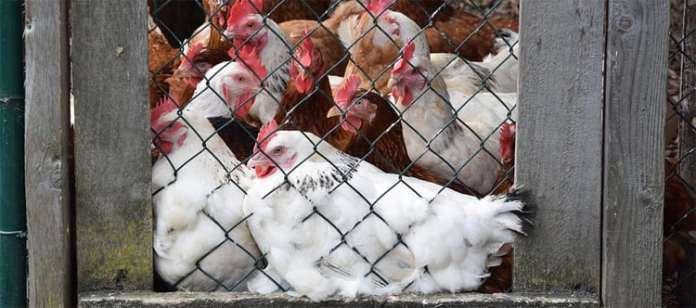 Nowe ogniska ptasiej grypy – konieczne natychmiastowe działania