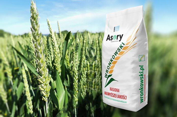 Wysokoplenna odmiana pszenicy ozimej ASORY Fot. Wronkowski