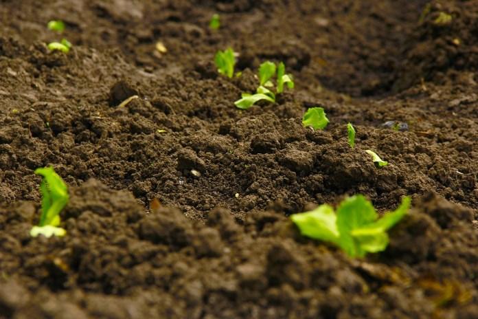 Ogórek, dynia czy cukinia oczyszczą glebę