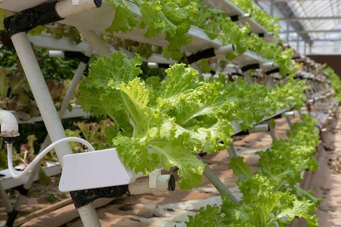 Modułowa uprawa hydroponiczna powstała w Polsce