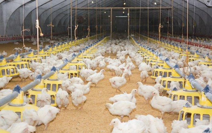 Największa epidemia ptasiej grypy w historii polskiej hodowli – co to oznacza dla rynku drobiowego?