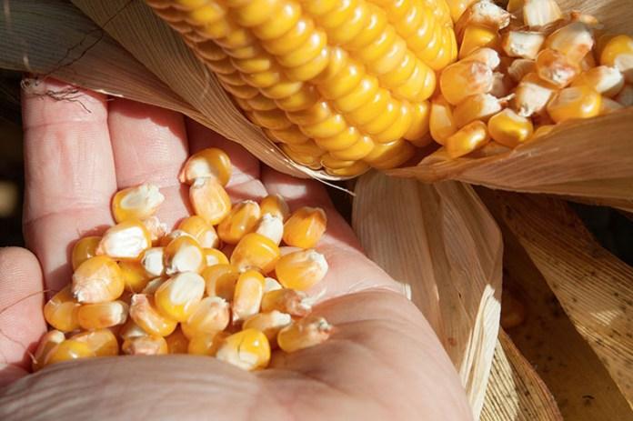 Kukurydza na ziarno - kalkulacja opłacalności