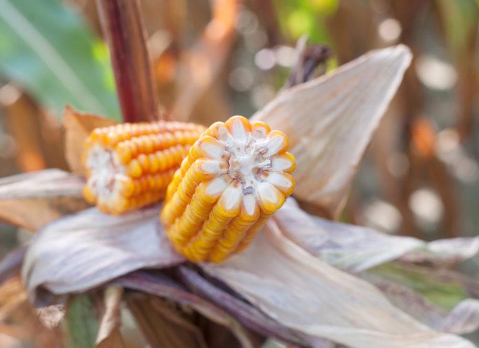 odmiany kukurydzy, SYNGENTA,PROCAM,SAATBAU POLSKA, HODOWLA ROŚLIN SMOLICE,IGP POLSKA,RAGT, PIONEER, SAATEN UNION,CAUSSADE NASIONA, AGROSIMEX, kukurydza, kukurydza na ziarno, kukurydza na kiszonkę