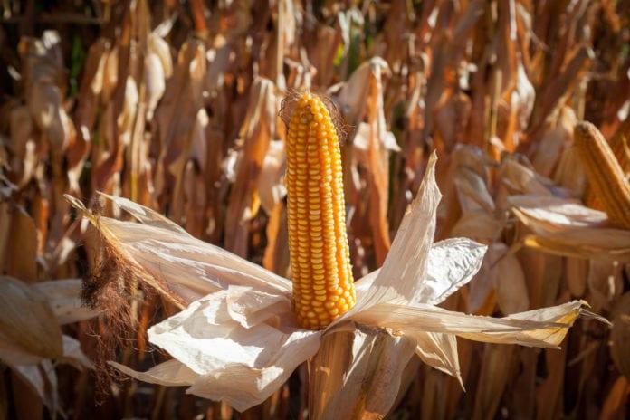 jakość kukurydzy na kiszonkę, Limagrain, Innvigo, Marcin Bystroński, Leszek Chwalisz, susza, kukurydza, odmiany kukurydzy, Marek Skwira, Zbigniew Podkówk